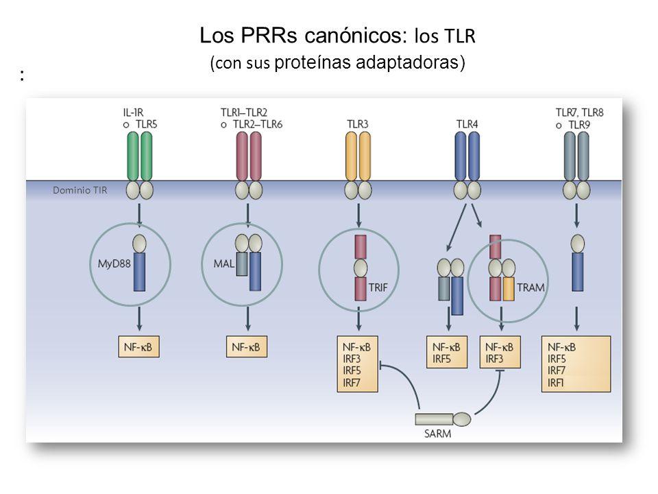 Los PRRs canónicos: los TLR (con sus proteínas adaptadoras) Dominio TIR :