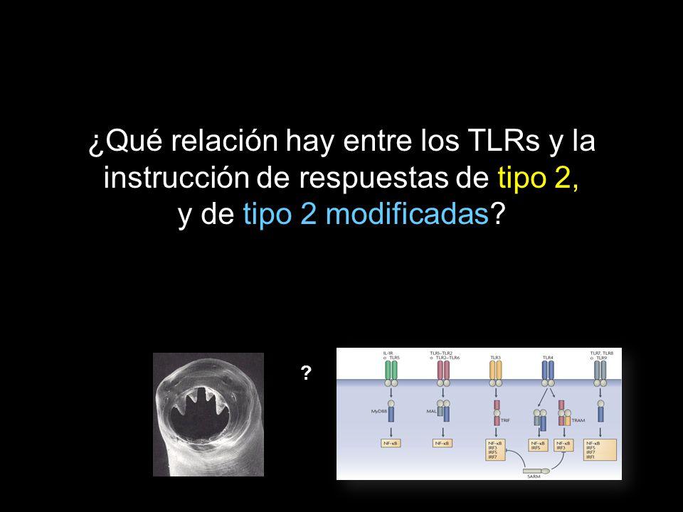 ¿Qué relación hay entre los TLRs y la instrucción de respuestas de tipo 2, y de tipo 2 modificadas? ?