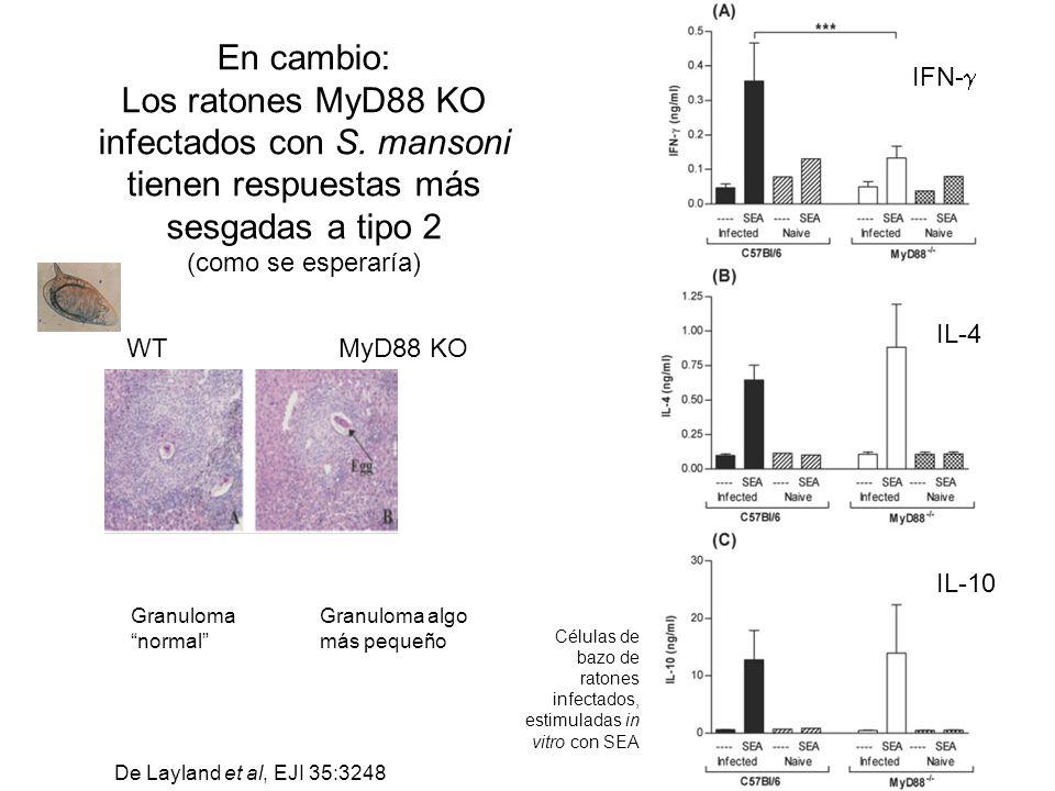 En cambio: Los ratones MyD88 KO infectados con S. mansoni tienen respuestas más sesgadas a tipo 2 (como se esperaría) WTMyD88 KO Granuloma algo más pe
