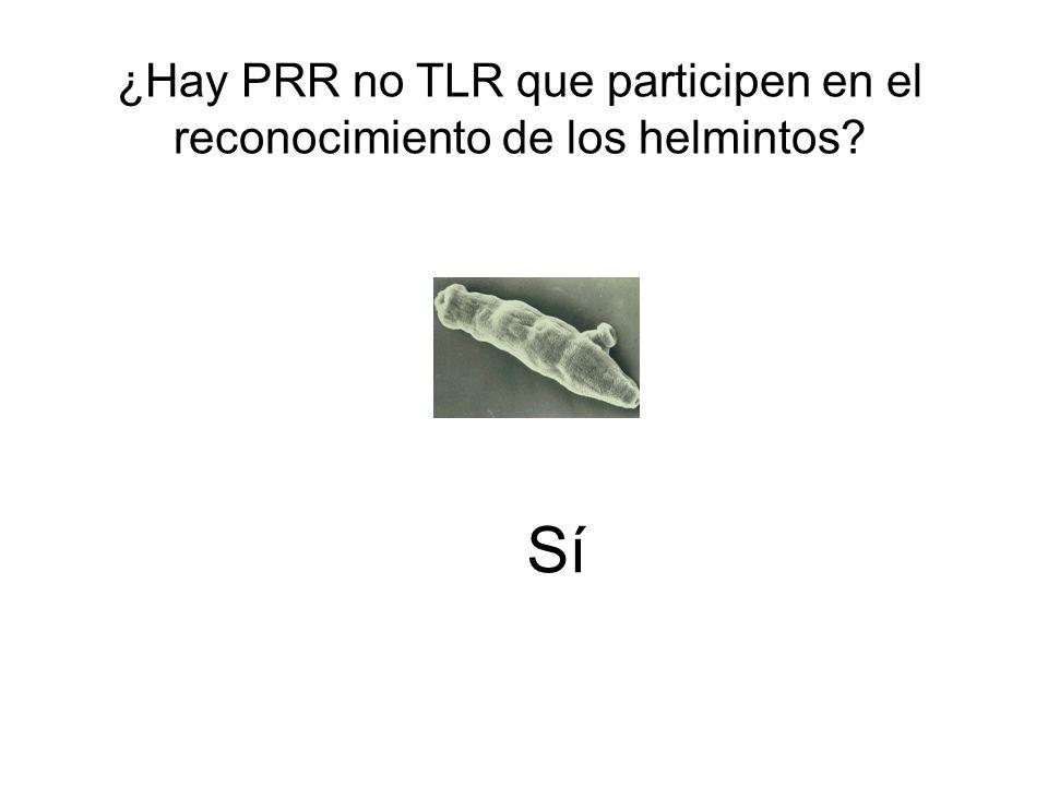 ¿Hay PRR no TLR que participen en el reconocimiento de los helmintos? Sí