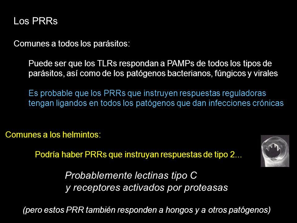 Los PRRs Comunes a todos los parásitos: Puede ser que los TLRs respondan a PAMPs de todos los tipos de parásitos, así como de los patógenos bacteriano