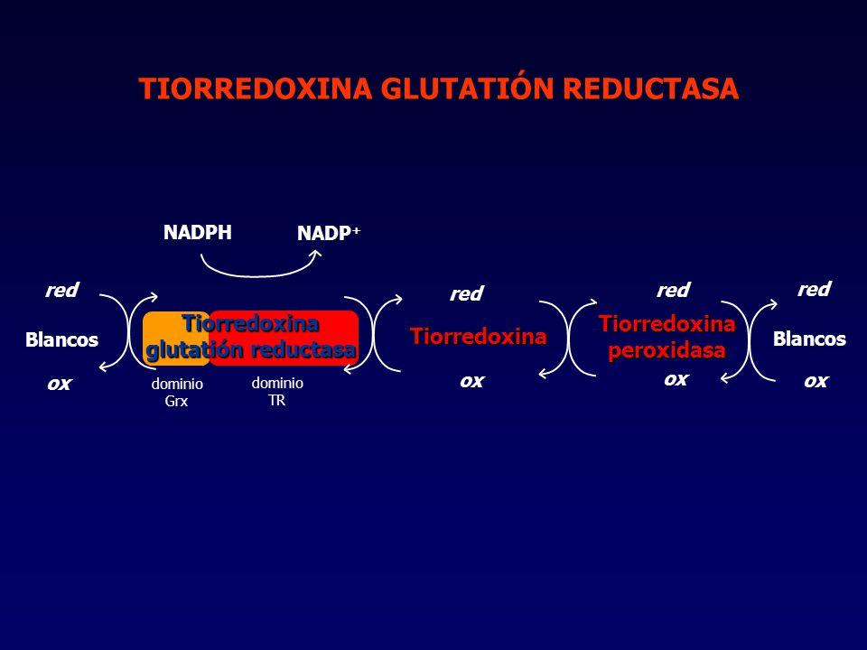 TIORREDOXINA GLUTATIÓN REDUCTASA Tiorredoxina glutatión reductasa Tiorredoxina red ox NADPH NADP + Blancos red ox Tiorredoxina peroxidasa Blancos red ox dominio TR dominio Grx