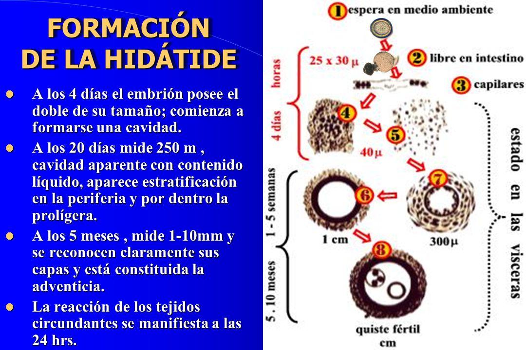 FORMACIÓN DE LA HIDÁTIDE A los 4 días el embrión posee el doble de su tamaño; comienza a formarse una cavidad. A los 4 días el embrión posee el doble