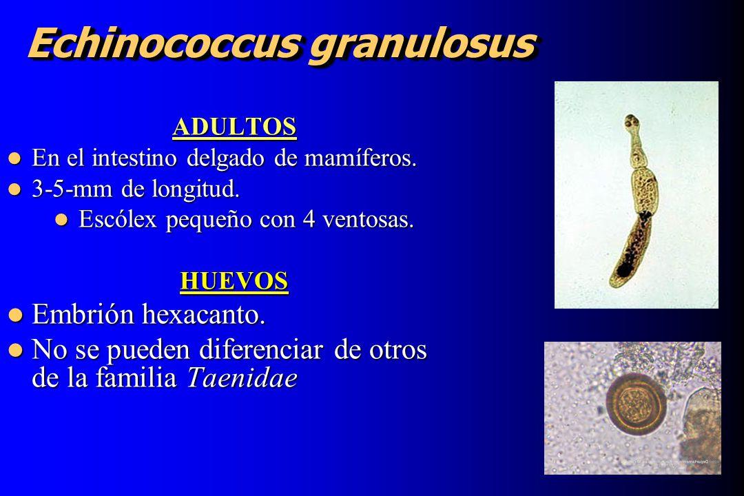 Echinococcus granulosus ADULTOS En el intestino delgado de mamíferos. En el intestino delgado de mamíferos. 3-5-mm de longitud. 3-5-mm de longitud. Es
