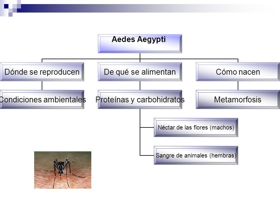 Aedes Aegypti Dónde se reproducen Condiciones ambientales De qué se alimentan Proteínas y carbohidratos Néctar de las flores (machos) Sangre de animal