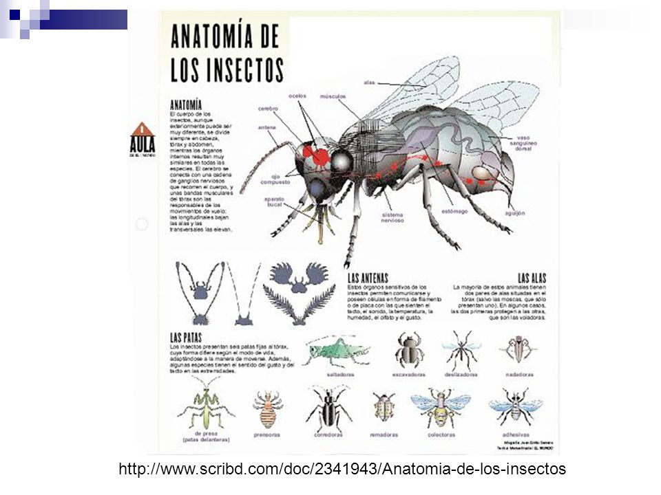 http://es.wikipedia.org/wiki/Anatom%C3%ADa_y_fi siolog%C3%ADa_externa_de_los_insectos.