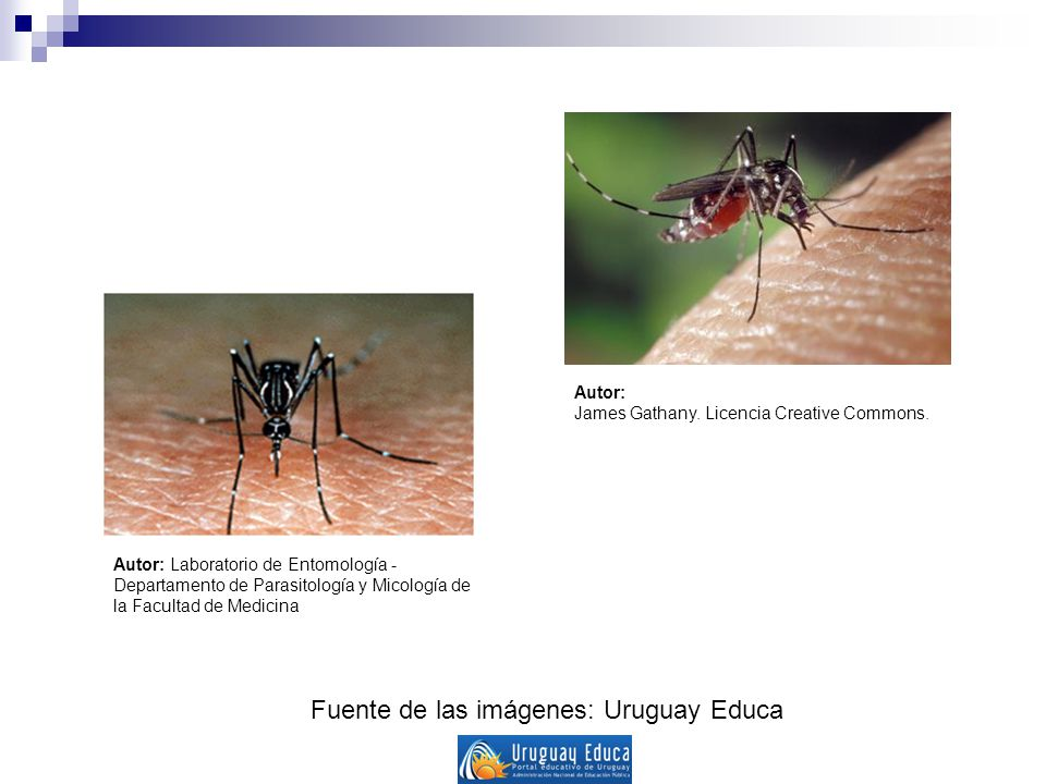 Fuente de las imágenes: Uruguay Educa Autor: James Gathany. Licencia Creative Commons. Autor: Laboratorio de Entomología - Departamento de Parasitolog