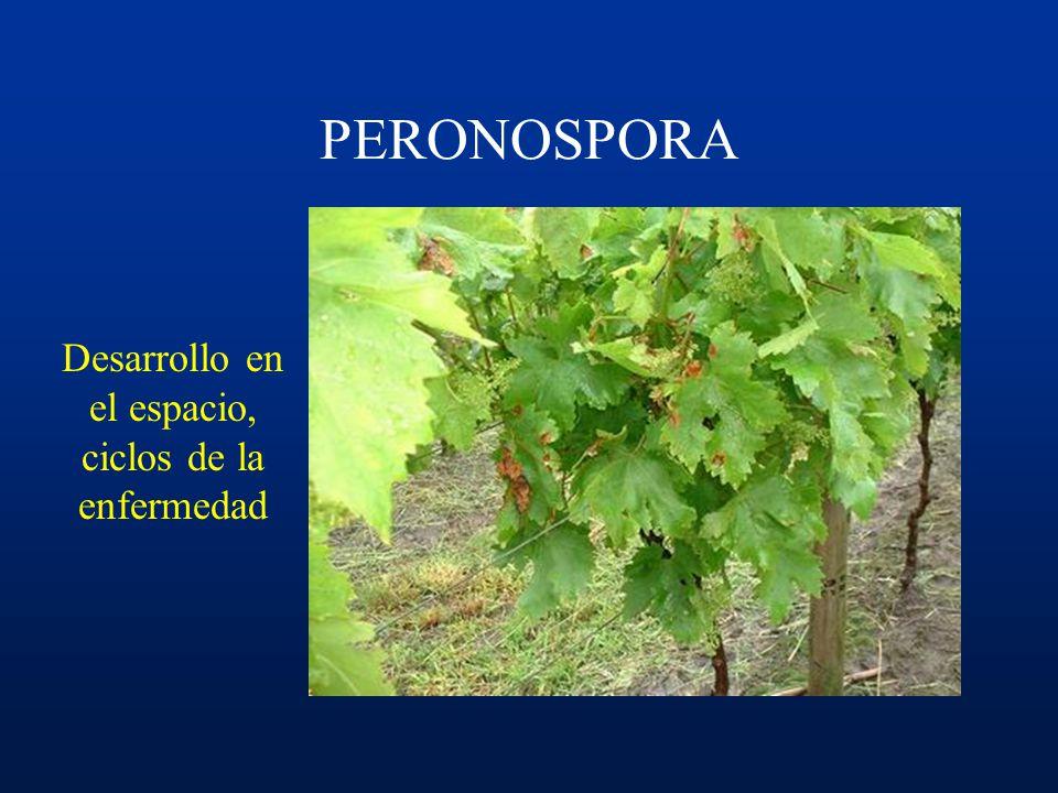 Ciclo: –invierno oosporas –primavera zoosporangios infección primaria inóculo secundario ciclos secundarios... –verano ciclos ¿secundarios?... –otoño