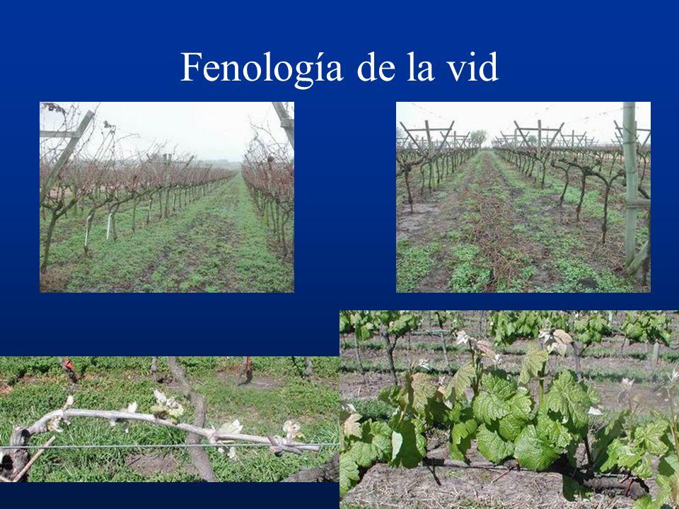 ENFERMEDADES DE LA VID. Ing. Agr. Vivienne Gepp, MSc. Curso de Protección Vegetal Frutícola. Año 2007.
