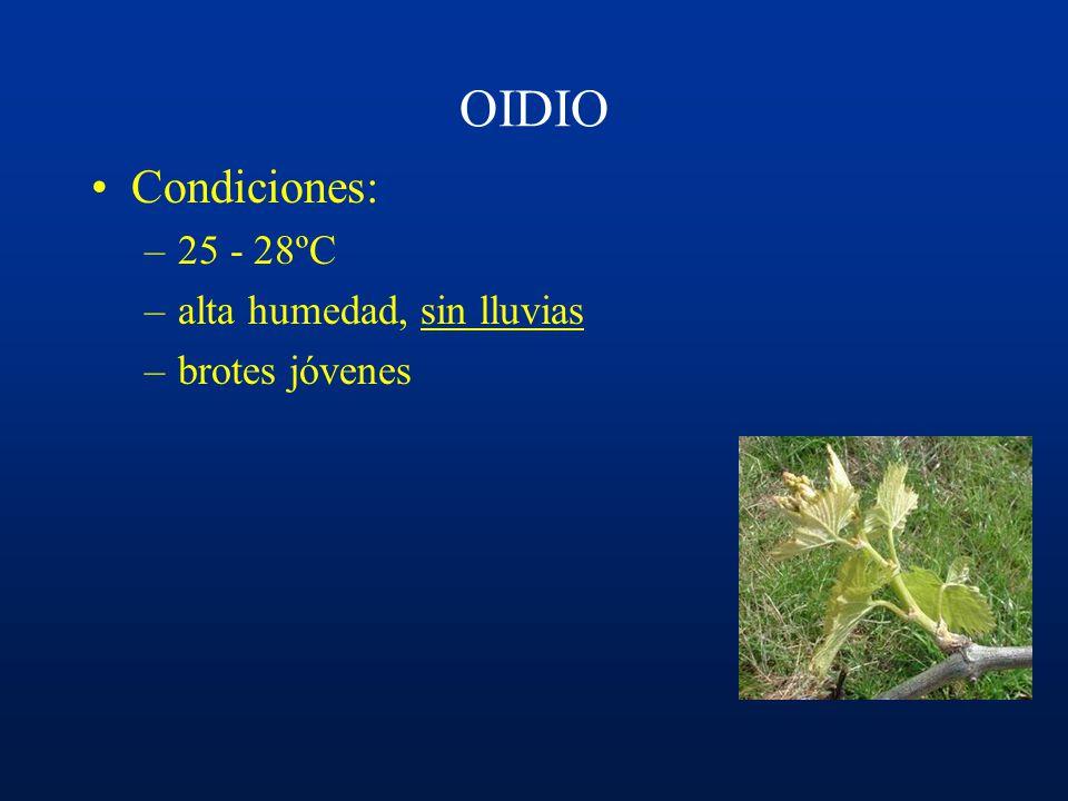 Ciclo del OIDIO Yemas Brotes nuevos Hojas Sarmientos Racimos Conidios ¿Cleistotecios?