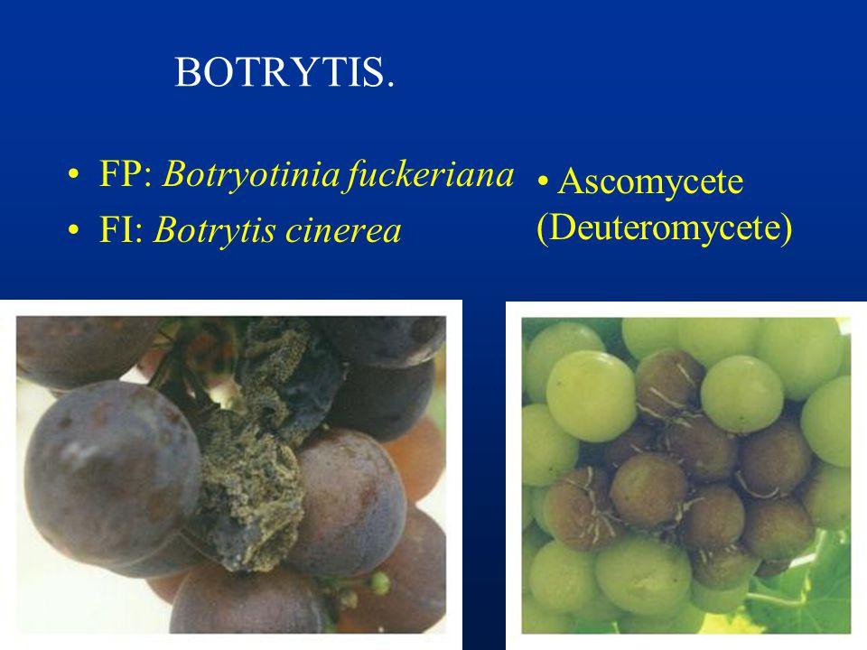 POLVILLO, CENIZA u OIDIO FUNGICIDAS: –Azufre –Inhibidores de la Biosíntesis del Ergosterol –Strobilurinas: Azoxystrobin, Pyraclostrobin –Tolyfluanid