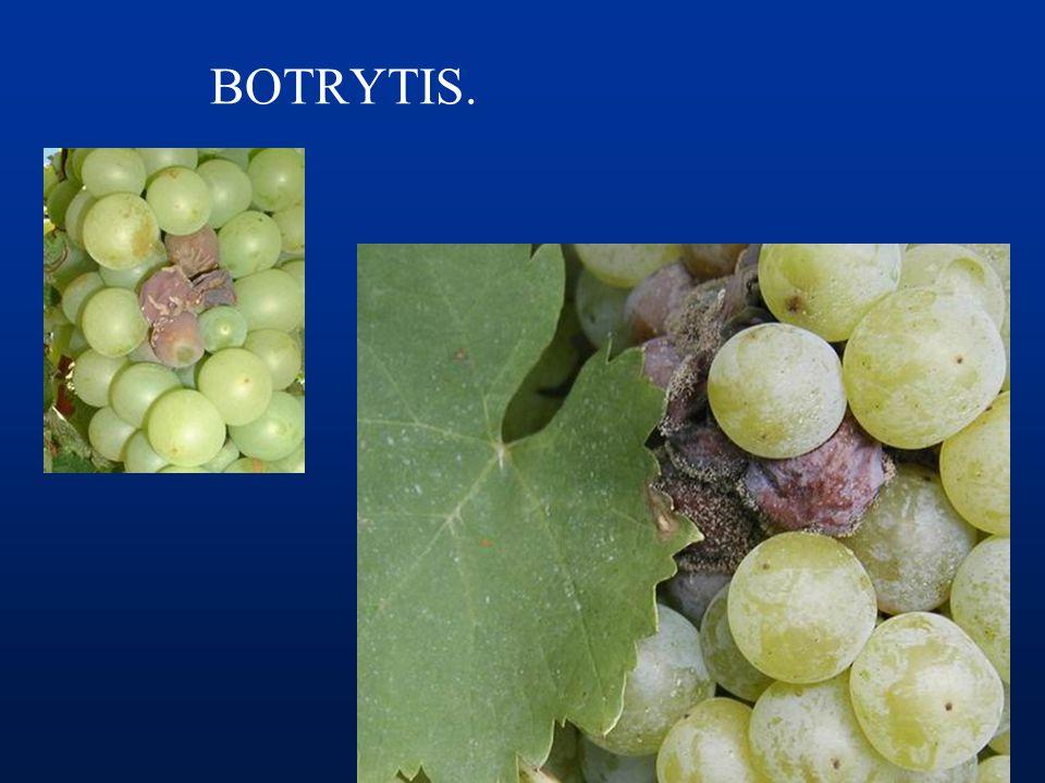BOTRYTIS. FP: Botryotinia fuckeriana FI: Botrytis cinerea Ascomycete (Deuteromycete)