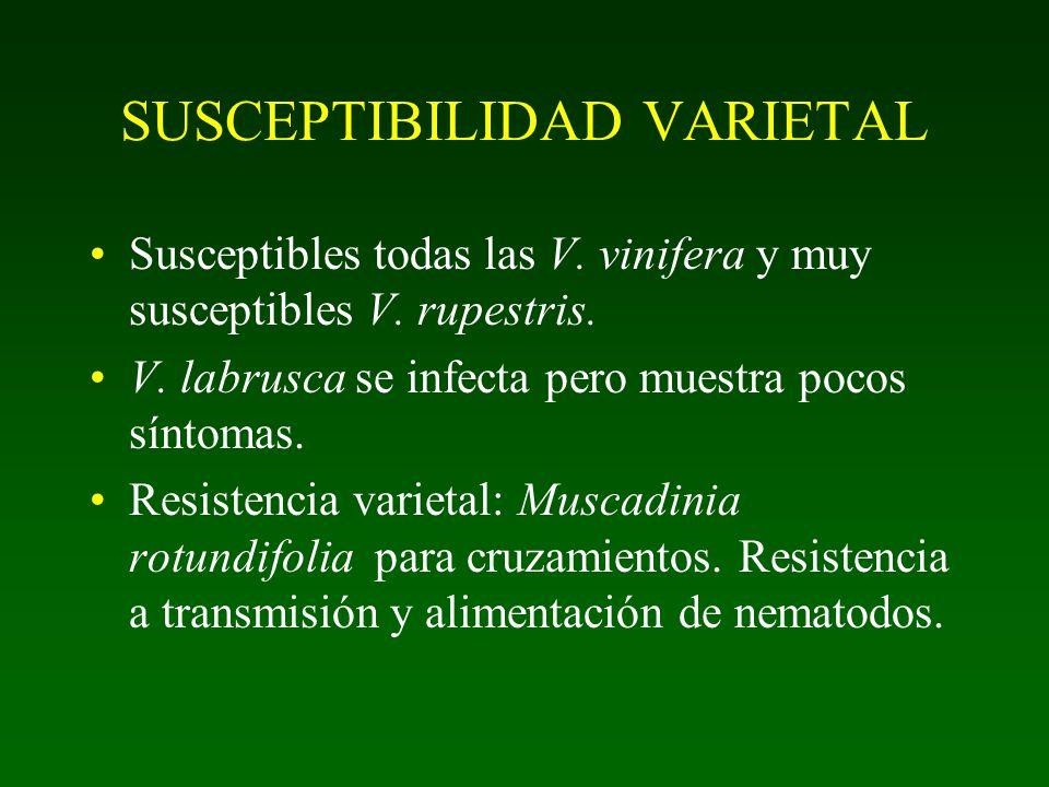 Grapevine fan leaf nepovirus Transmisión: Xiphinema index España: en 14% de los viñedos y en 50% de los con GFLV. Italia: en 15% de los viñedos. Prese