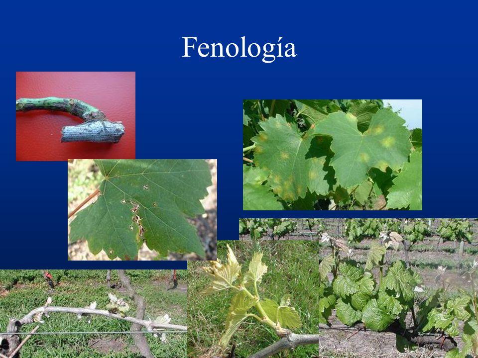 PRONÓSTICO Peronóspora Excoriosis Antracnosis Botrytis Criterios: Fenología Clima y microclima http://www.chasque.net/dgsa/Operaciones/servicios_fitos