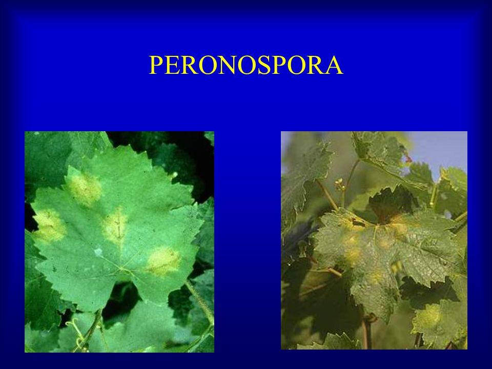 Principales enfermedades Peronospora Oidio, ceniza, polvillo Escoriosis Antracnosis Botrytis Virus