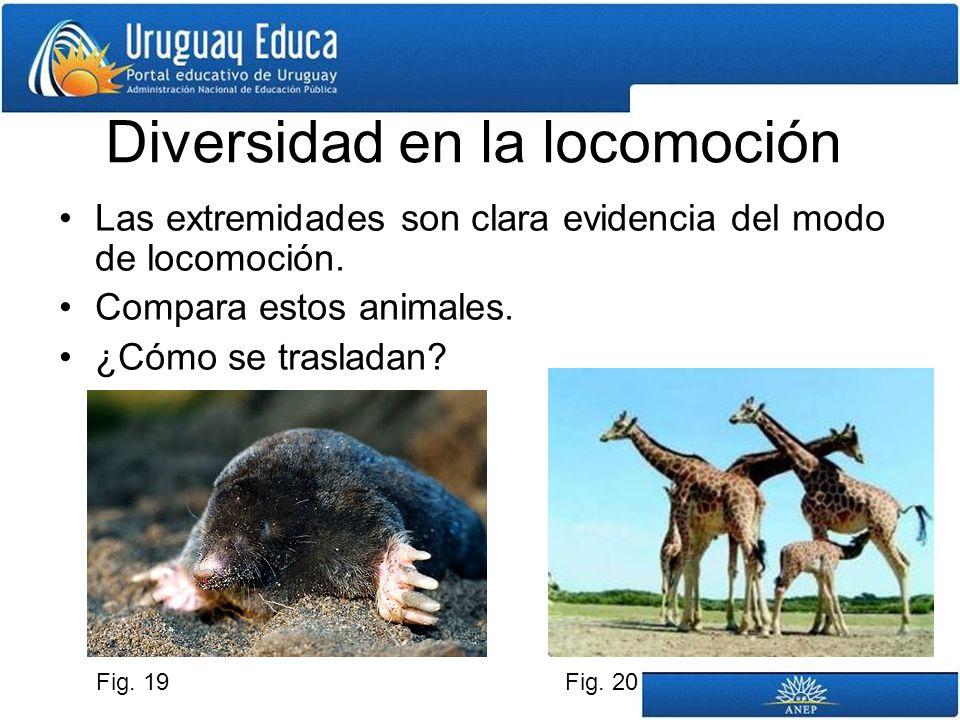 Diversidad en la locomoción Las extremidades son clara evidencia del modo de locomoción. Compara estos animales. ¿Cómo se trasladan? Fig. 19Fig. 20