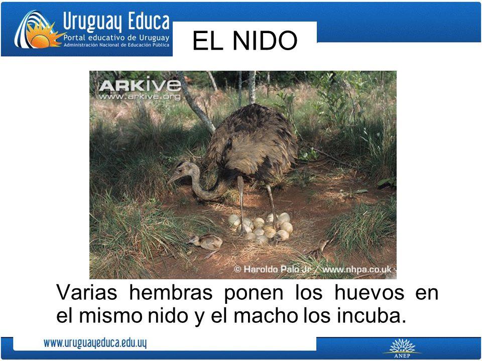 A los pichones, en Uruguay, se les llama charabones.