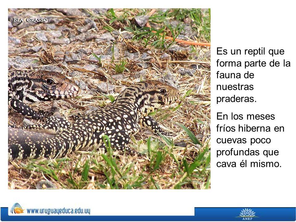 Es un reptil que forma parte de la fauna de nuestras praderas.