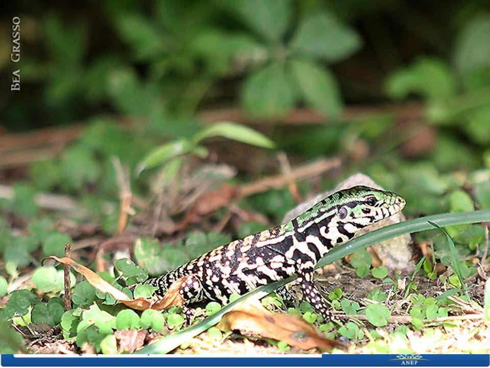 Es un reptil La piel del lagarto, está formada por escamas (distintas a las de los peces) que parecen placas una al lado de la otra.