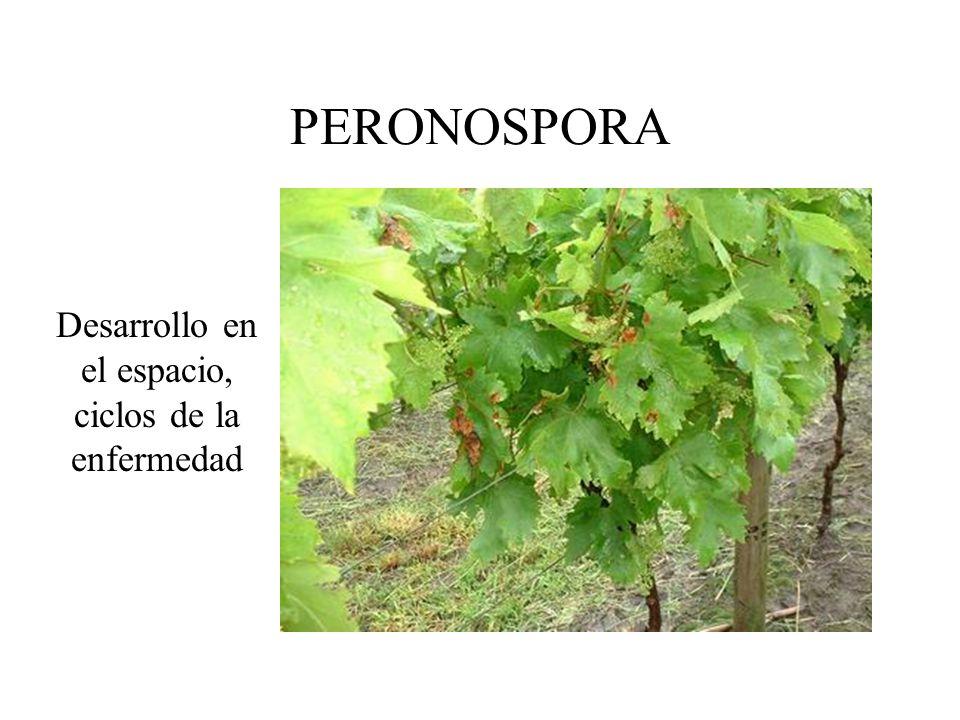 Ciclo: –invierno oosporas –primavera zoosporangios infección primaria inóculo secundario ciclos secundarios...