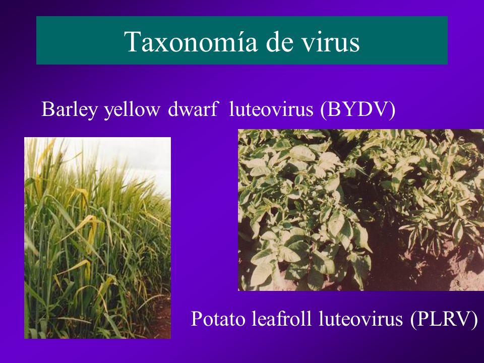 Taxonomía de virus Barley yellow dwarf luteovirus (BYDV) Potato leafroll luteovirus (PLRV)