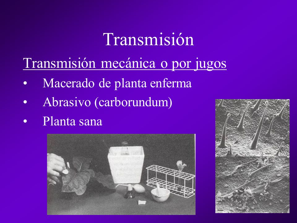 Transmisión Transmisión mecánica o por jugos Macerado de planta enferma Abrasivo (carborundum) Planta sana