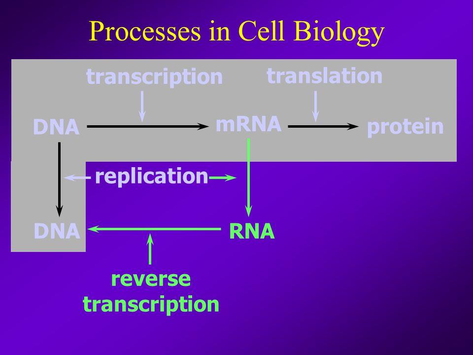 Processes in Cell Biology DNA mRNA RNA transcription replication protein translation reverse transcription