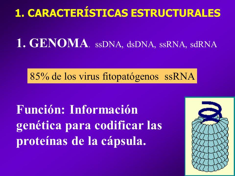 1. GENOMA. ssDNA, dsDNA, ssRNA, sdRNA 85% de los virus fitopatógenos ssRNA Función: Información genética para codificar las proteínas de la cápsula. 1