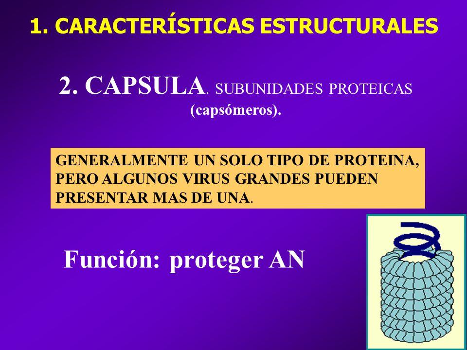 2.CAPSULA. SUBUNIDADES PROTEICAS (capsómeros).