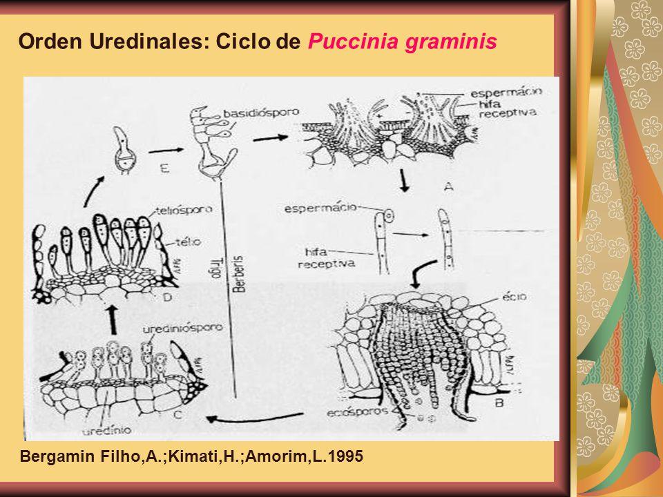 Orden Uredinales: Ciclo de Puccinia graminis Bergamin Filho,A.;Kimati,H.;Amorim,L.1995