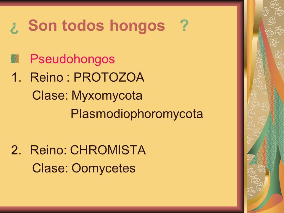 ¿ Son todos hongos ? Pseudohongos 1.Reino : PROTOZOA Clase: Myxomycota Plasmodiophoromycota 2.Reino: CHROMISTA Clase: Oomycetes