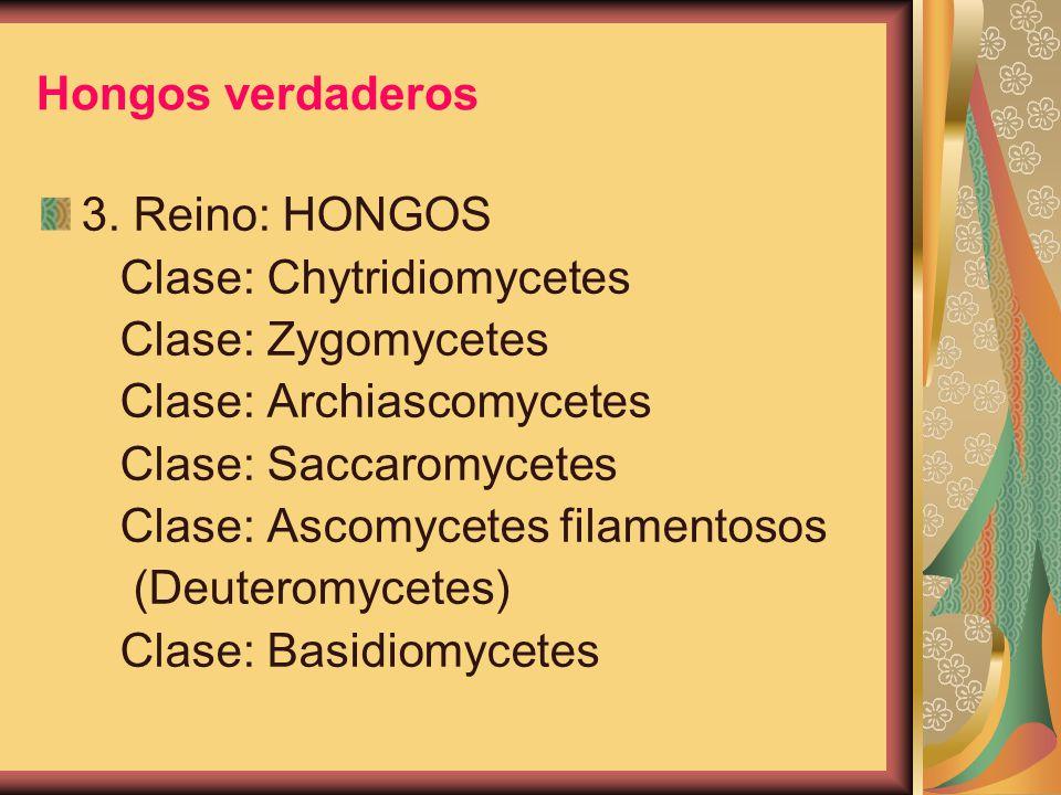 Hongos verdaderos 3. Reino: HONGOS Clase: Chytridiomycetes Clase: Zygomycetes Clase: Archiascomycetes Clase: Saccaromycetes Clase: Ascomycetes filamen