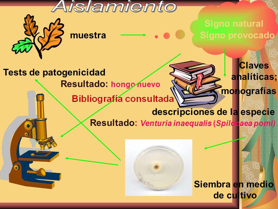 muestra Signo natural Signo provocado Claves analíticas; descripciones de la especie monografías Resultado: Venturia inaequalis (Spilocaea pomi) Siemb