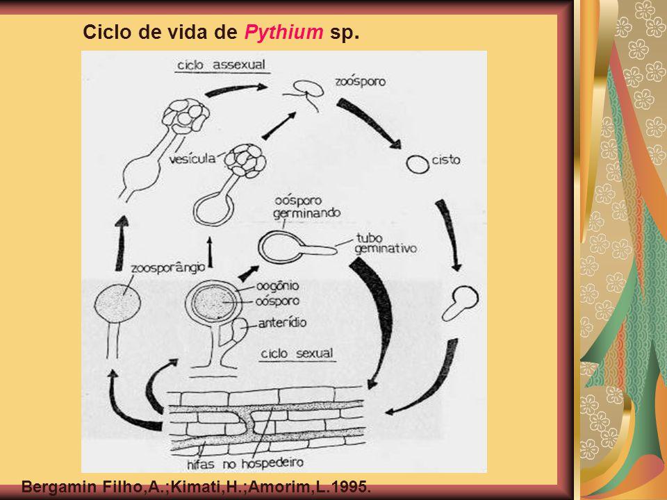 Ciclo de vida de Pythium sp. Bergamin Filho,A.;Kimati,H.;Amorim,L.1995.