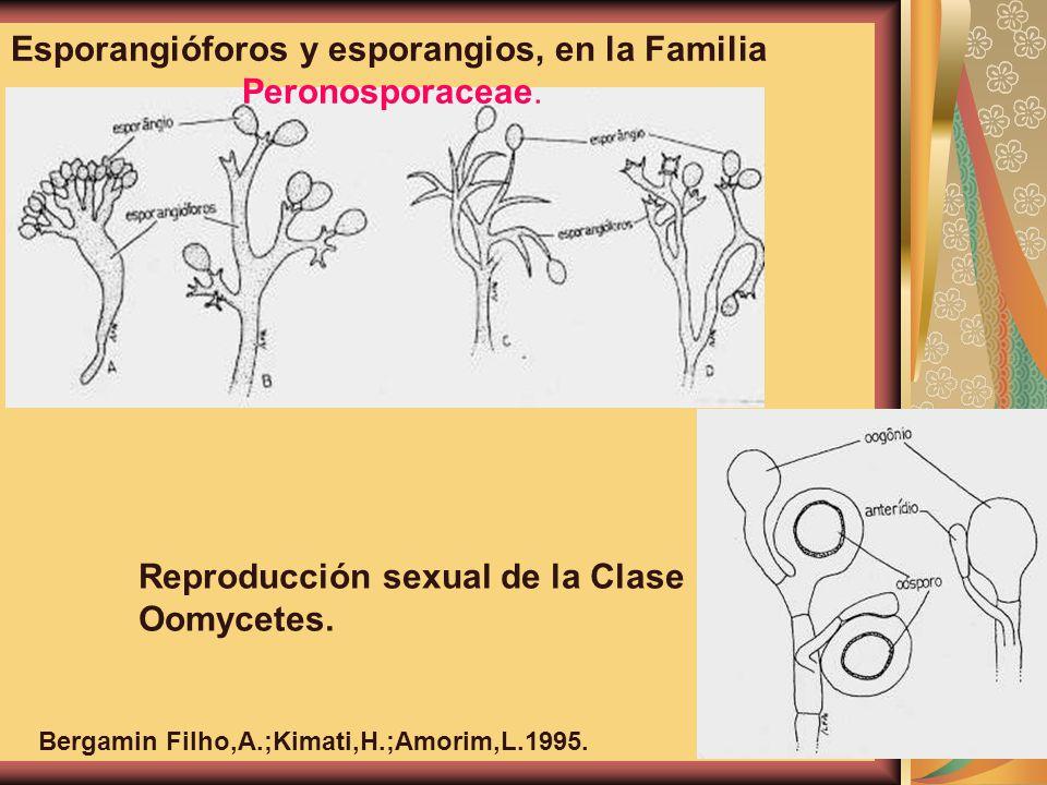 Esporangióforos y esporangios, en la Familia Peronosporaceae. Reproducción sexual de la Clase Oomycetes. Bergamin Filho,A.;Kimati,H.;Amorim,L.1995.