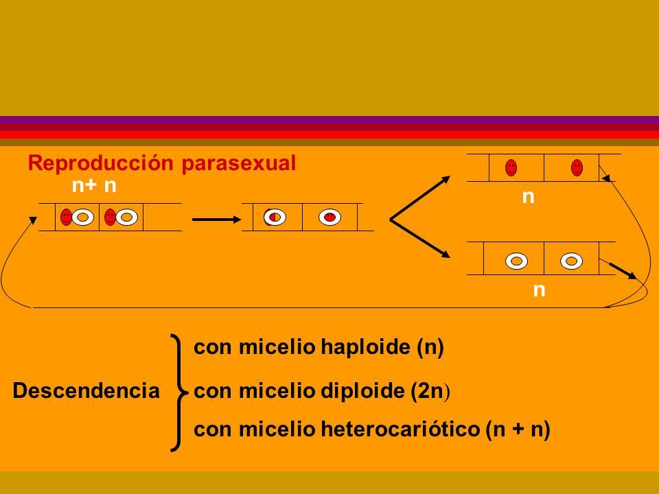 Reproducción parasexual n+ n con micelio haploide (n) con micelio diploide (2n ) con micelio heterocariótico (n + n) Descendencia n n