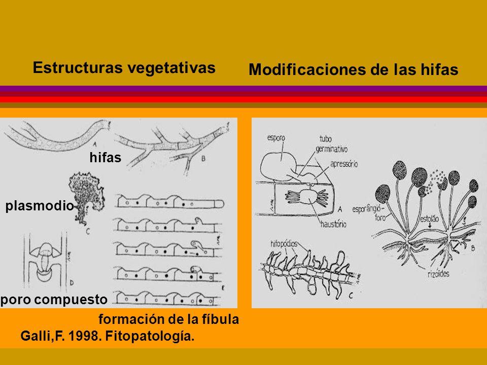 hifas plasmodio poro compuesto formación de la fíbula Galli,F.