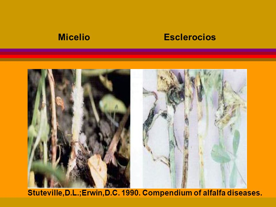 Micelio, conidióforos, conidios, esclerotos, cuerpos fructíferos (picnidios, acérvulos, peritecios, etc.), esporas A simple vista, con lupa de mano (8 - 20X), con microscopio.