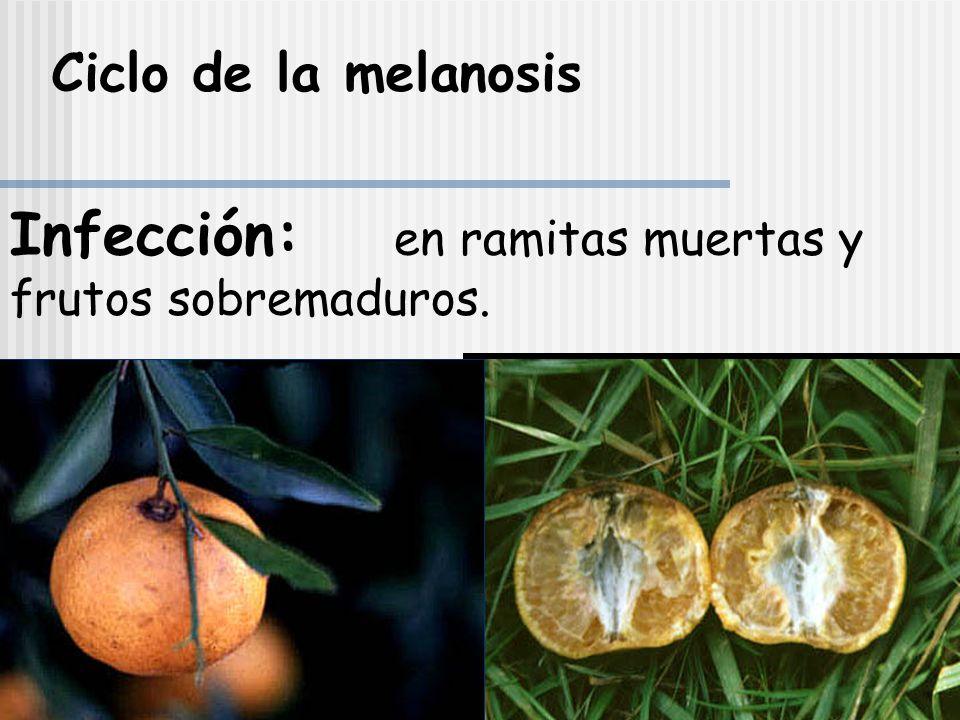 MELANOSIS Diaporthe citri Wolf syn Diaporthe medusae Nits Phomopsis citri Fawcet