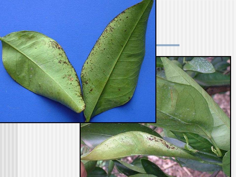 MANCHA GRASIENTA Mycosphaerella citri Whiteside Stenella citri-grisea Fisher Syn. Cercospora citri-grisea Fisher