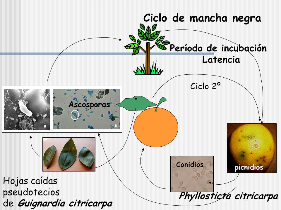 MANCHA NEGRA www.folhadonorte.com.br Guignardia citricarpa Phoma citricarpa Syn Phyllosticta citricarpa