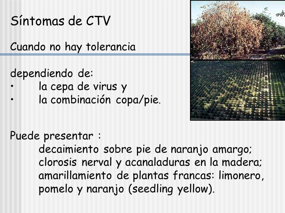 VIRUS DE LA TRISTEZA: Ctclosterovirus=CTV Ctclosterovirus=CTV Hospedantes: Citrus y Fortunella Poncirus presenta distintos grados de tolerancia Fortunella frente a algunas cepas del virus.
