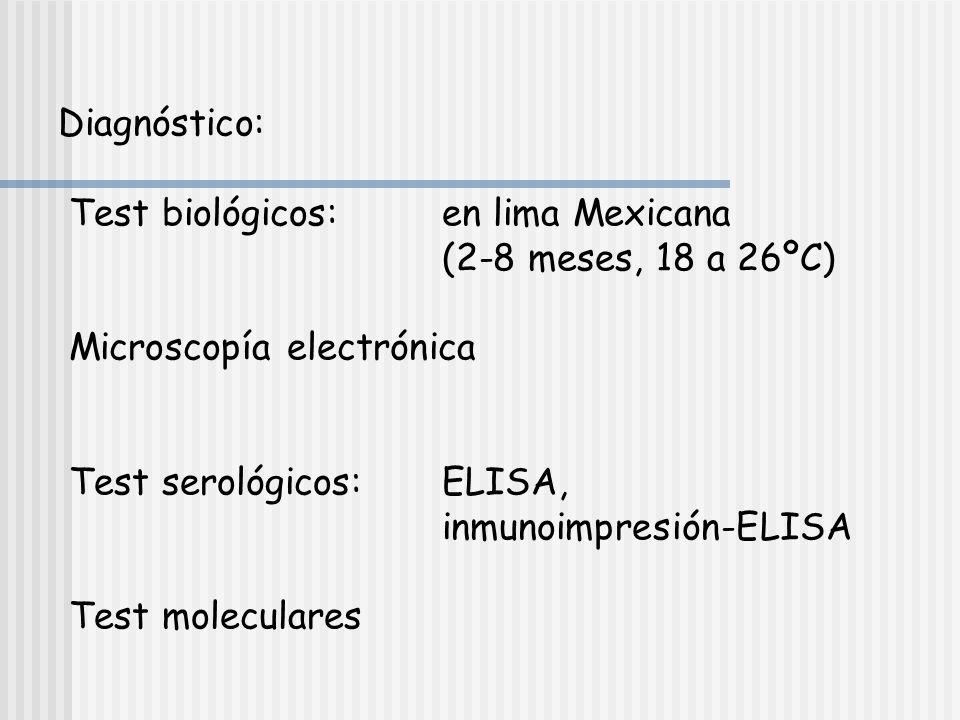 Síntomas de CTV Cuando no hay tolerancia dependiendo de: la cepa de virus y la combinación copa/pie.