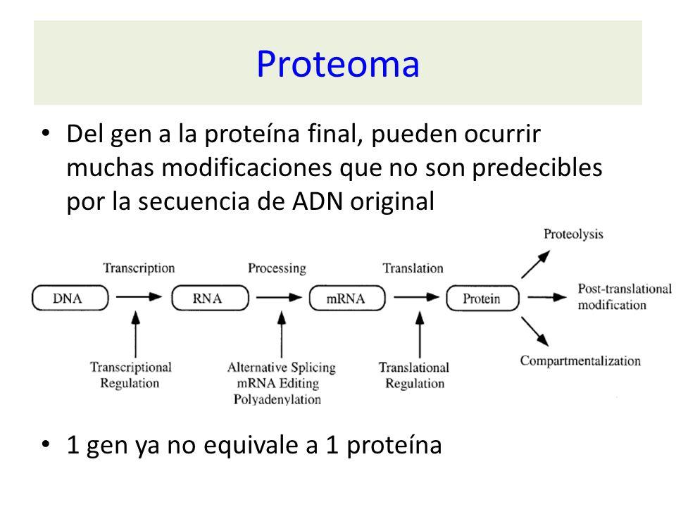 Proteoma Del gen a la proteína final, pueden ocurrir muchas modificaciones que no son predecibles por la secuencia de ADN original 1 gen ya no equival