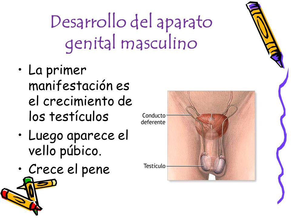 Desarrollo del aparato genital masculino La primer manifestación es el crecimiento de los testículos Luego aparece el vello púbico. Crece el pene