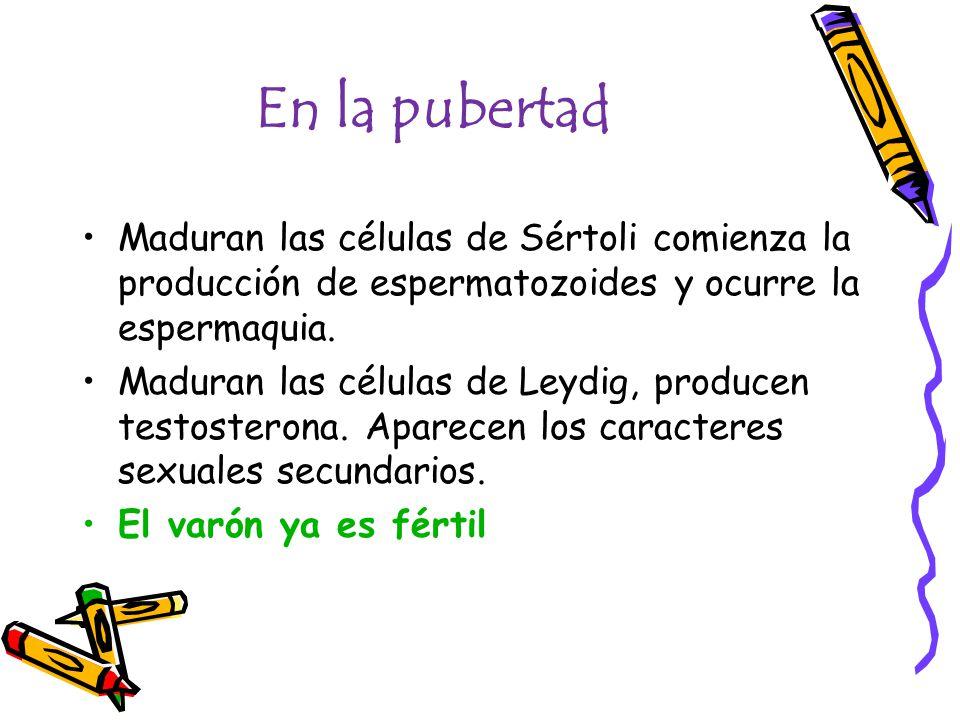 En la pubertad Maduran las células de Sértoli comienza la producción de espermatozoides y ocurre la espermaquia. Maduran las células de Leydig, produc