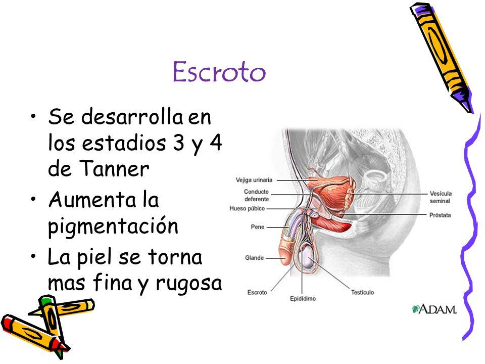 Escroto Se desarrolla en los estadios 3 y 4 de Tanner Aumenta la pigmentación La piel se torna mas fina y rugosa