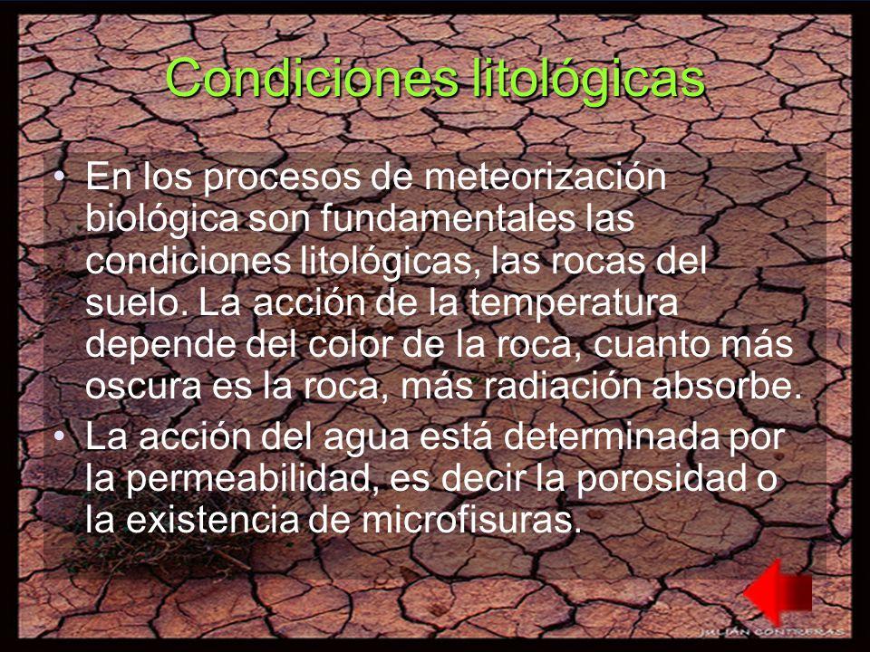 Condiciones litológicas En los procesos de meteorización biológica son fundamentales las condiciones litológicas, las rocas del suelo.