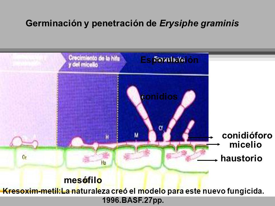 Germinación y penetración de Erysiphe graminis conidios conidióforo micelio Esporulación haustorio mesófilo Kresoxim-metil:La naturaleza creó el model