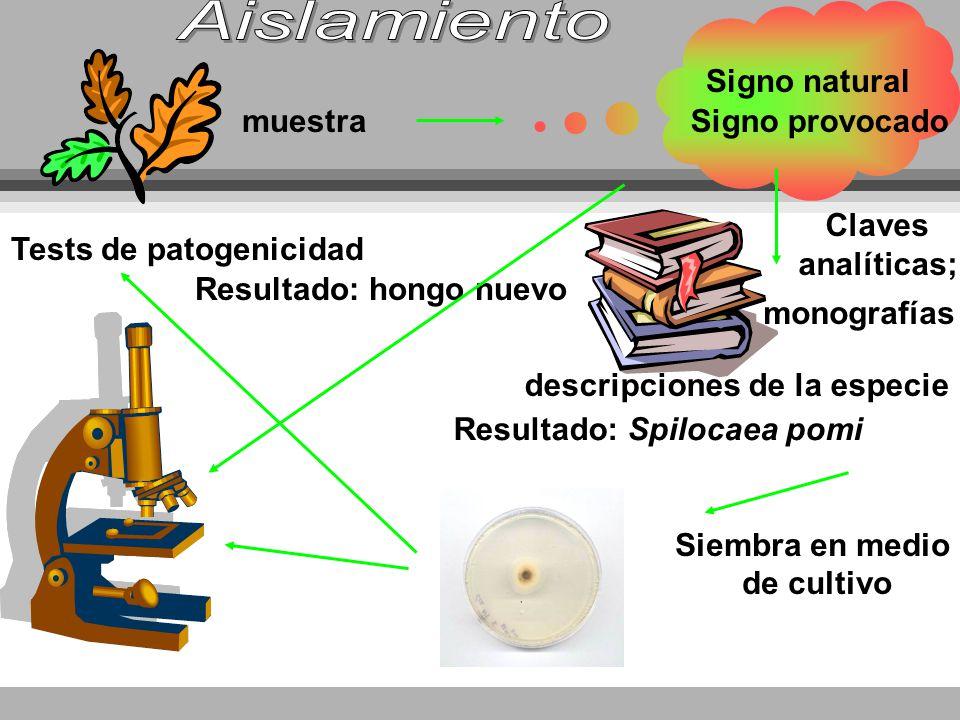 muestra Signo natural Signo provocado Claves analíticas; descripciones de la especie monografías Resultado: Spilocaea pomi Siembra en medio de cultivo